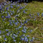 siniliiliad on kevadekuulutajad