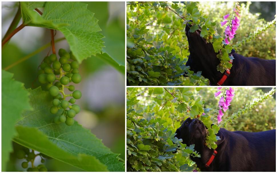 karusmarjad ja veel hapud viinamarjad