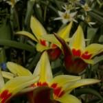 Eespool värviküllane Kaufmanni tulp 'Corona' , taga turkestani tulp. Mõlemad varased aprillikuu õitsejad. Tulipa kaufmanniana, tulipa turkestanica
