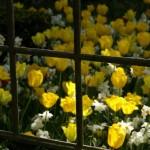 Kollane tulp – sort 'Hamilton' Narcissus poeticus