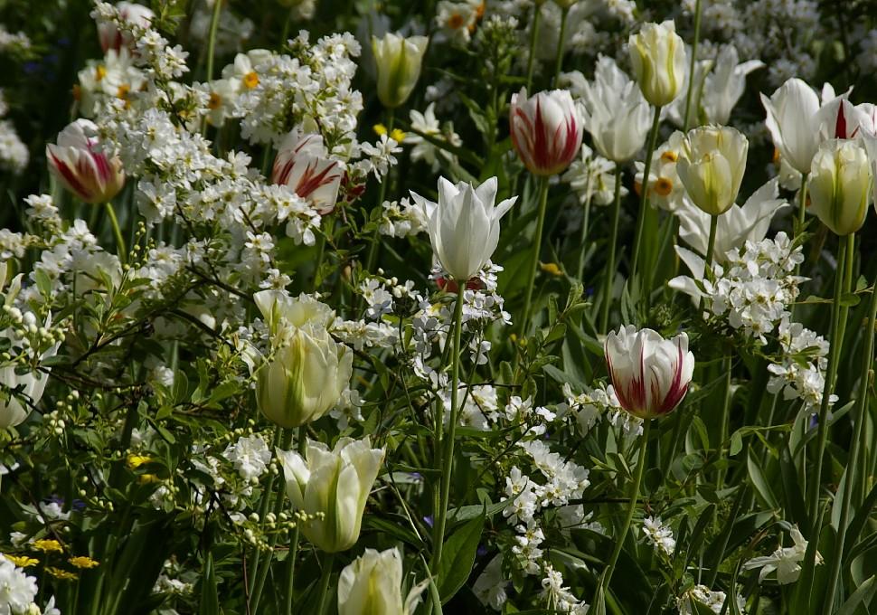 Valge ja roheka õige sort 'Spring Green'.
