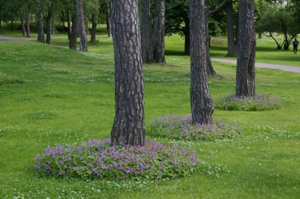 1Ümber puude on kasvama pandud kurerehade laigud. Seda ka mugavama niitmise pärast. Õieilu sinna juurde. Isopuisto Kotka.Aiakujundus. Muru asemel_00004