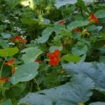 Kressid täidavad suve peale peenra tühjad kohad mõnusalt. Kresside lehed, õied ja varred on ka täiesti söödavad salati sisse lisamiseks.Värske roheline oma aiast. Kuidas planeerida_00001