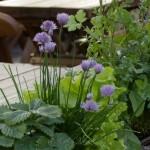Ürditaimedega sisustatud rõdukastidTallinna vanalinnas Olde Hansa terrassil Värske roheline oma aiast. Kuidas planeerida_00005