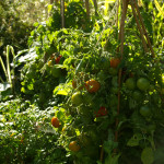Keskmise kõrgusega väikeseviljalised tomatid sobivad väga hästi potis ka ilma kasvuhooneta kasvama. Neid peab ainult toestama ja valima sooja ja päikesepaistelise koha.