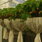 Maasikakorvid on saanud uhked kleidid. Chelsea aiandusmess Londonis.