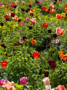 3. Värvikirev tulpide segu koos püsililledega. Kurekellad, kortslehed, brunnerad ja piimalilled. Erksad tulbid kõrguvad kollaste ja heleroheliste värskete püsilillede kohal. Amsterdam Keukenhof