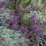 6. Veidi hilisemad sibullilled – laugud sobivad oma lillakate toonidega hästi kokku hallika ja pronksja taustatooniga. Chelsea aiandusnäitus