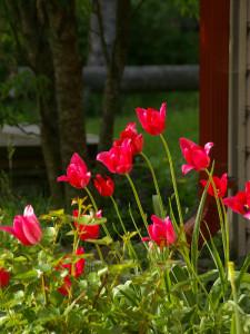 Need tulbid on minu aias püsinud juba mitmeid kümneid aastaid
