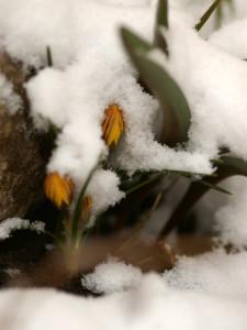 Minu aia kõige esimene krookus on kuldõieline krookus
