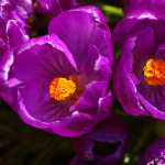 Krookused on toredad just teeradade ääres. Nad on kevadel ühed esimesed korralikult erksad värvilaigud aias.