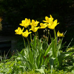 Kollased tulbid 'Golden Apeldoorn'