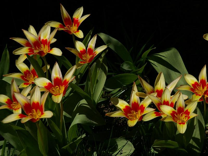 Kaufmanni tulp 'Corona' on kinnisena veidi madalama kasvuga ja lihtsa õiega. Päikesepaistel ja soojas ajab oma õied kauniteks värvilisteks taldrikuteks.